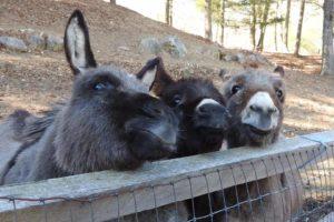 donkeys,donkey derby